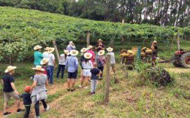 Vila Don Patto e Vinícola Casa da Árvore promovem colheita e pisa da uva para famílias em São Roque